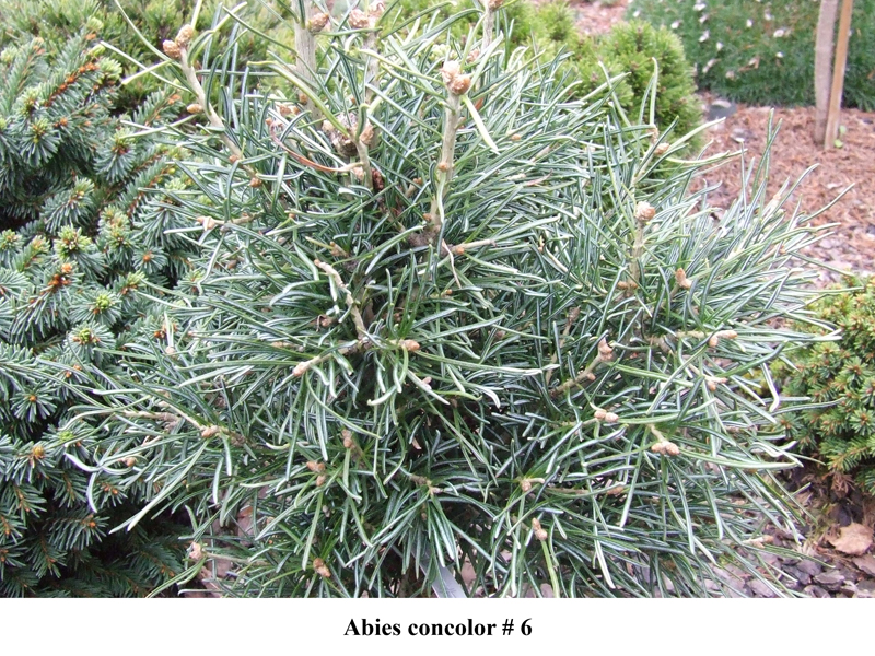 Abies concolor # 6.jpg