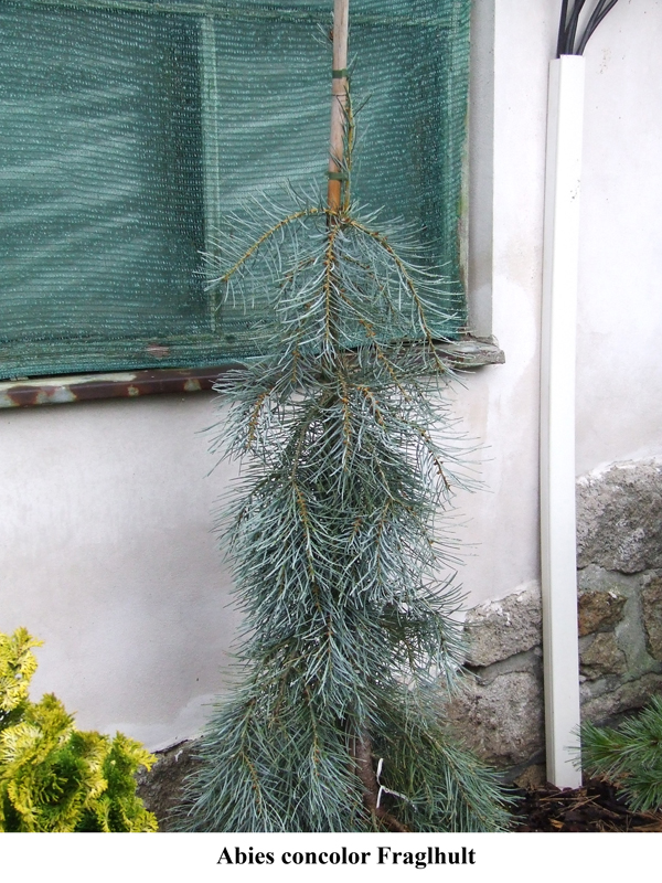 Abies concolor Fraglhult.jpg