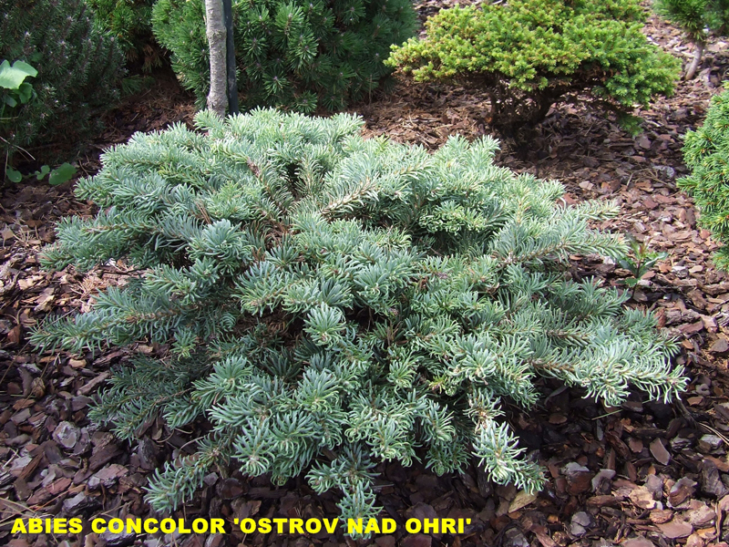 Abies concolor Ostrov nad Ohri.jpg